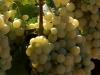 2-white_grapes