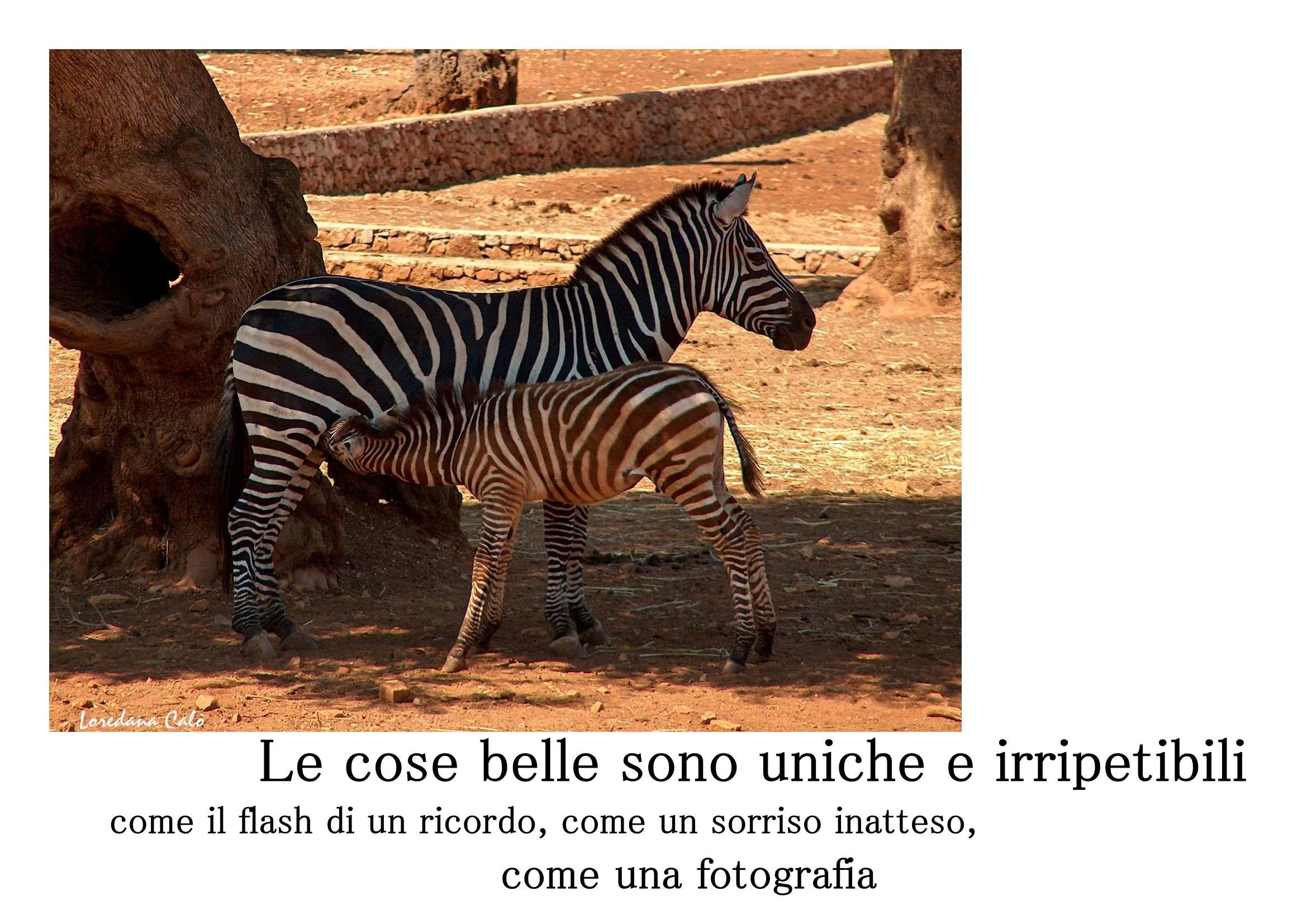 zebra_card_1