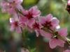 fiori_rosa_di_pesco