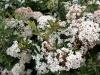 fioritura_bianco