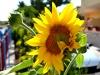 girasole_sunflower1