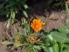 margherita_arancione