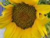 sunflower_0