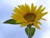 sunflower_sky