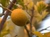 1-limone_lemon_0