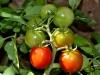 1-pomodori_tomatoes