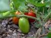 2-pomodori_tomatoes