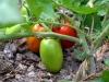 2-pomodori_tomatoes_0
