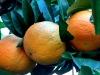 arancia_oranges