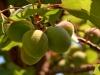 albicocche_apricot1