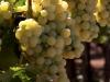 3-white_grapes