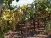 5-white_grapes