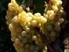 white_grapes