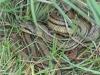 oasi_wwf_le_cesine_serpente